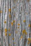 Vecchio legno del granaio con i licheni Immagine Stock