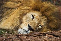 Vecchio leone Immagini Stock