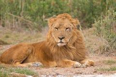 Vecchio leone Immagine Stock