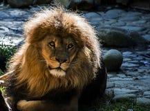 Vecchio leone Fotografie Stock Libere da Diritti