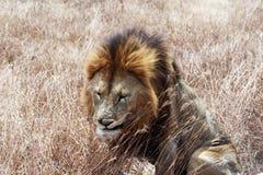 Vecchio leone Fotografia Stock