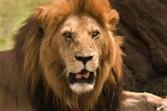Vecchio leone Fotografia Stock Libera da Diritti