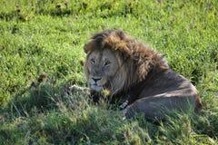 Vecchio leone che si trova nell'erba nella tonalità di un albero Fotografia Stock Libera da Diritti