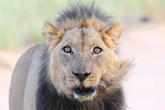Vecchio leone maschio Fotografie Stock
