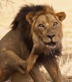 Vecchio leone maschio con le spolette dell'istrice in fronte fotografia stock