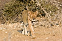 Vecchio lioness Fotografia Stock Libera da Diritti
