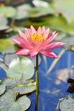 Vecchio loto di rosa Fotografie Stock