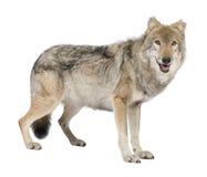 Vecchio lupo europeo - lupus di lupus di Canis Fotografie Stock Libere da Diritti