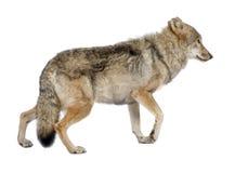 Vecchio lupo europeo - lupus di lupus di Canis Immagini Stock Libere da Diritti