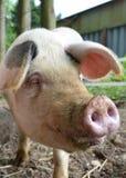 Vecchio maiale del punto di Gloucester fotografia stock libera da diritti
