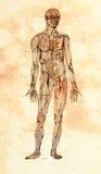 Vecchio modello anatomico Fotografia Stock Libera da Diritti