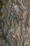 Vecchio modello di legno del fondo di struttura dell'albero con le crepe ed il fungo I precedenti di un albero con le crepe natur fotografie stock