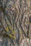 Vecchio modello di legno del fondo di struttura dell'albero con le crepe ed il fungo I precedenti di un albero con le crepe natur immagini stock libere da diritti
