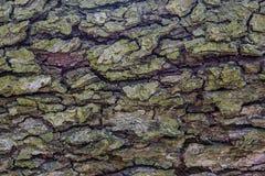 Vecchio modello strutturato di legno del tronco di albero Fotografia Stock