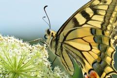 Vecchio Mondo Swallowtail fotografie stock