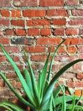 Vecchio muro di mattoni con la grande pianta dell'aloe Immagine Stock