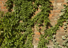 Vecchio muro di mattoni con molte piante verdi dell'edera immagini stock libere da diritti