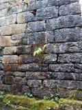 Vecchio muro di mattoni con una pianta verde minuscola Fotografia Stock Libera da Diritti