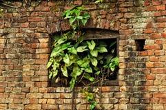 Vecchio muro di mattoni, finestra invasa con le piante Fotografie Stock Libere da Diritti