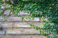 Vecchio muro di mattoni di struttura, coperto in edera immagine stock libera da diritti