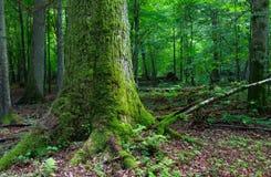 Vecchio muschio enorme della quercia avvolto Fotografia Stock Libera da Diritti