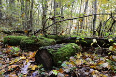 Vecchio muscoso collega la foresta Fotografie Stock Libere da Diritti