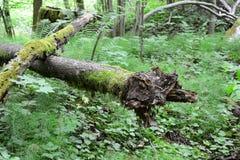 Vecchio muscoso collega la foresta Sigulda, natura Fotografia Stock Libera da Diritti