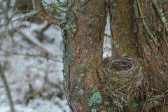 Vecchio nido della tazza di piccolo uccello delle passeriforme durante la molla in anticipo Immagini Stock Libere da Diritti