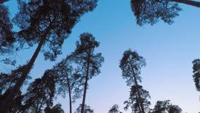 Vecchio ondeggiamento del pinery dei pini in vento contro uguagliare cielo Tronchi degli alberi che ondeggiano, sibilo del vento  video d archivio