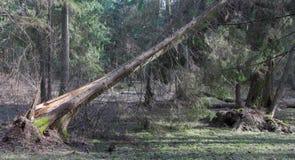 Vecchio ontano ed alberi attillati dentro della foresta di primavera Immagine Stock Libera da Diritti