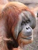 Vecchio orangutan 02 Fotografie Stock Libere da Diritti