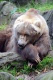 Vecchio orso Fotografia Stock Libera da Diritti
