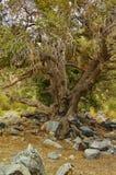 Vecchio paesaggio strutturato dell'albero di quercia Fotografia Stock Libera da Diritti