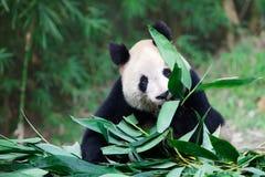 Vecchio panda gigante Fotografie Stock Libere da Diritti