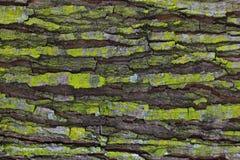Vecchio pezzo stesso di corteccia di legno invecchiante coperta di muschio verde e di struttura naturale profonda della crepa immagine stock libera da diritti
