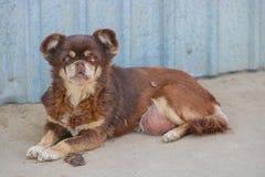 Vecchio piccolo cane malato Fotografia Stock Libera da Diritti