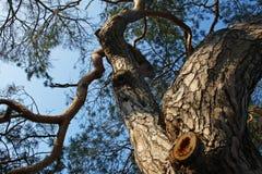 Vecchio pino Immagini Stock