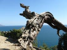Vecchio pino Fotografie Stock