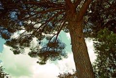 Vecchio pino enorme sul fondo della parte della corona Immagine Stock
