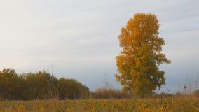 Vecchio pioppo alto con le foglie gialle sul prato di autunno video d archivio