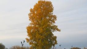 Vecchio pioppo alto con le foglie gialle sul prato di autunno archivi video