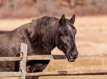 Vecchio primo piano nero del cavallo in Hopewell, Pensilvania fotografia stock libera da diritti
