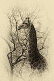 Vecchio profilo del lato della testa della giraffa di immagine di seppia Fotografie Stock Libere da Diritti