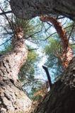 Vecchio punto di vista del pino da sotto Fotografie Stock Libere da Diritti