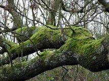 Vecchio ramo Fotografie Stock