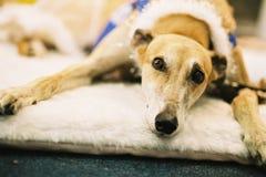 Vecchio riposo del cane Fotografie Stock