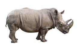 Vecchio ritaglio maschio di rinoceronte bianco Fotografia Stock