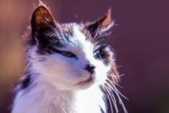Vecchio ritratto del gatto Immagine Stock