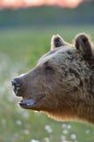 Vecchio ritratto dell'orso Fotografia Stock Libera da Diritti