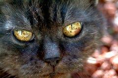 Vecchio ritratto nero del gatto Immagini Stock Libere da Diritti